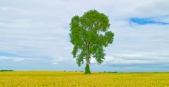 FM_Tree in a Wheatfield
