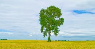 FM_Tree in a Wheatfield